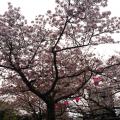 お花見 浜松城公園